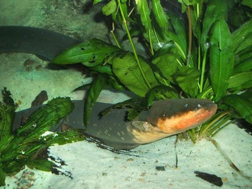 ثعبان البحر الكهربائي