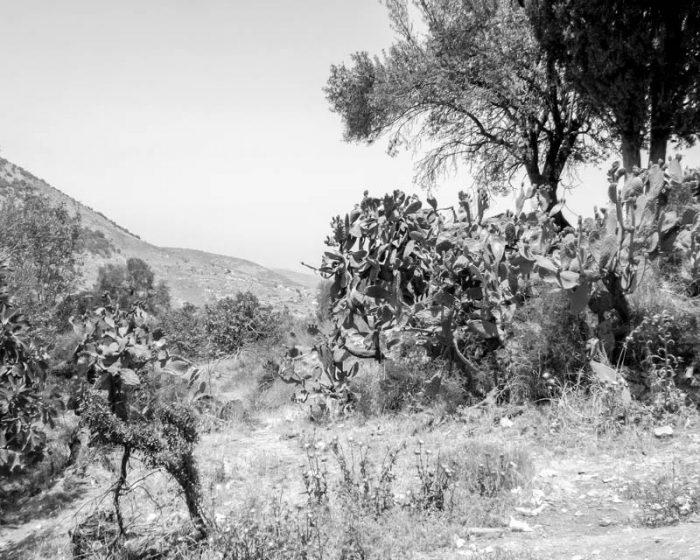"The famous Opuntia cactus, known in Israel as ""tsabar"" (sabra) near Amuka"