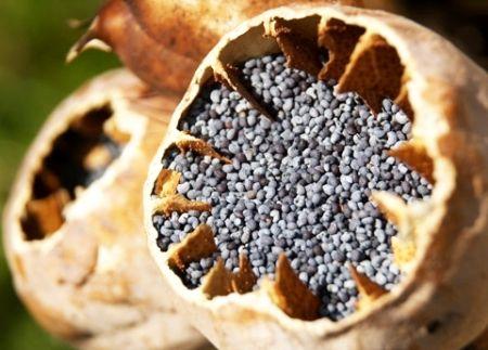 Tratament cu Semințe de Mac Pentru Osteoporoză