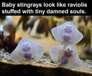 Baby Stingrays