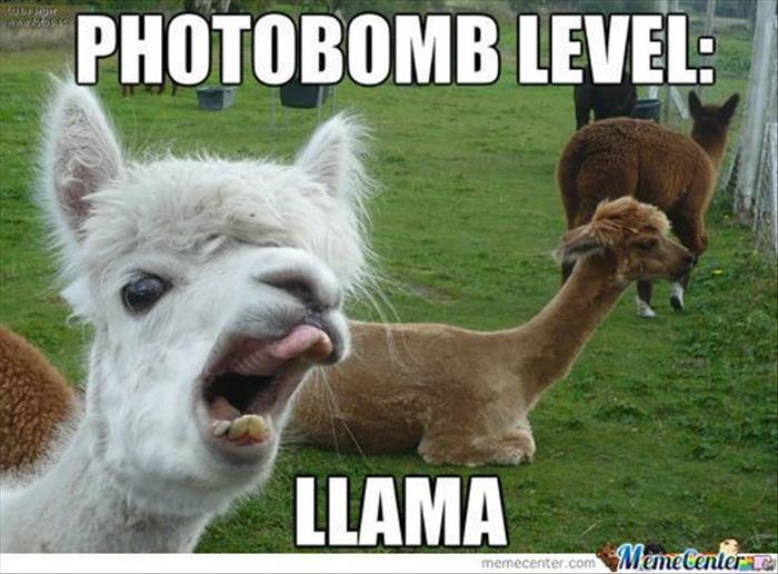 Llama Photobomb picture