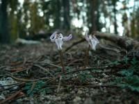 Steershead flowers on Dewey Ridge
