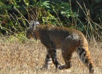 Bobcat in Santa Cruz arboretum