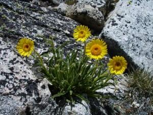 Alpine Gold wildflowers on Sheep Peak