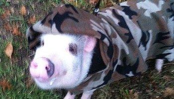 7d98463836c4f Mini pig clothes and mini pig harnesses | Mini Pig Farm