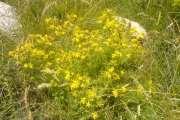 Najpoznatija narodna trava!