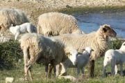 Dobrobiti uzgoja ovaca u Dalmaciji