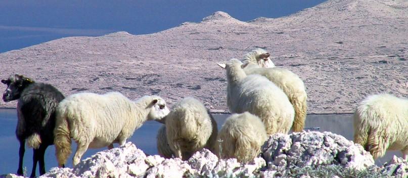 Seosko stočarstvo kroz prošlost na našim područjima