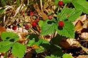 Ljekovita svojstva šumske jagode