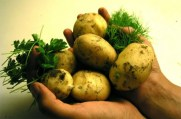 Ljekovita svojstva krompira i primjena