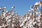 Pamuk, prirodna obrada i korištenje pamuka