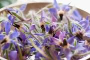 Ljekovita boražina osvježavajuća biljka koja daje hrabrost