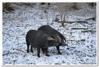 Požeška crna svinja