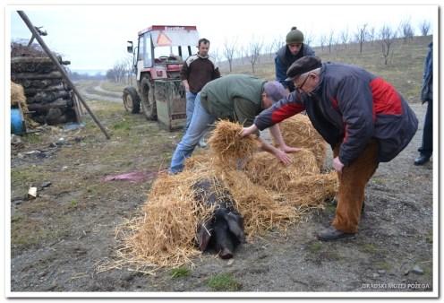 Priprema paljenja crne slavonske svinje