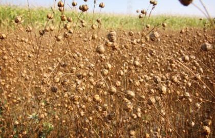 lanena polja i proizvodnja lana