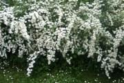 Ljekovita suručica narodni biljni aspirin