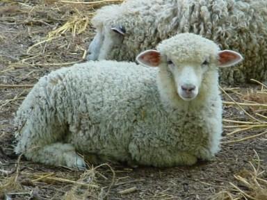 ovca pramenka, proizvodnja mlijeka