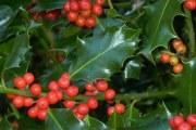 Ljekovita svojstva i upotreba božikovine