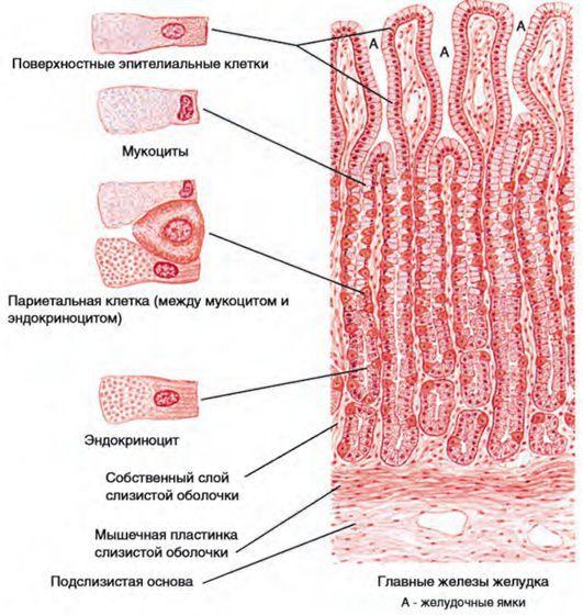 Клетки слизистой оболочки желудка