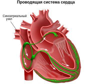Αγώγιμο καρδιακό σύστημα