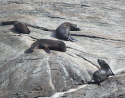 Fur seals on Doubtful Sound