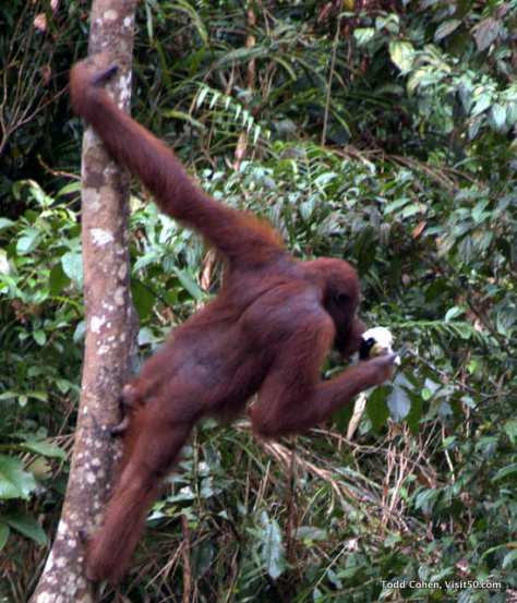 Orangutan arms are twice as long as their legs. Their outstretched arms can reach up to 7.5 feet!