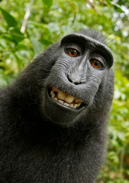 Sulawesi crested black monkey self-portrait, worthy of Facebook or Instagram. It's a monkey selfie! Sulawesi crested black macaque. Visit50.com
