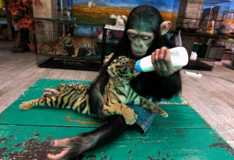 2 yr old chimpanzee Do Do feeds milk to Aorn, a 2-month-old tiger cub. Best Animal Photos of 2011