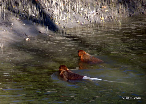 Proboscis monkeys are proficient swimmers, using the webbing between their fingers to movequietly (so as not to attract predators, like crocodiles) using a form of dog paddle, and seem to like themangrove swamps.