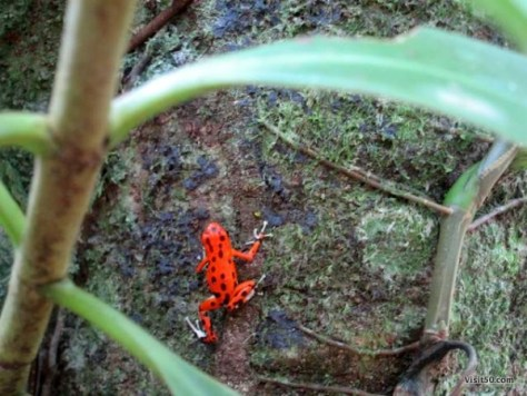 Tiny Red Frog from Red Frog Beach, one of the most popular stops while Island hopping in Bocas del Toro Panama