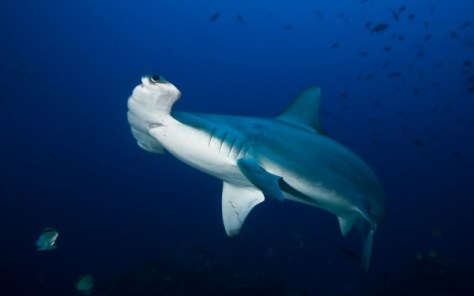 Hammerhead shark closeup