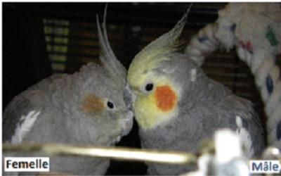 Comment déterminer le sexe de son oiseau ?