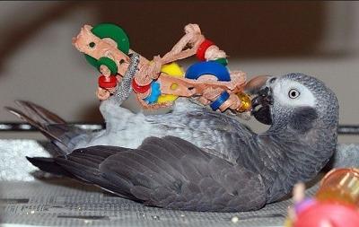 Perroquet gris du Timneh
