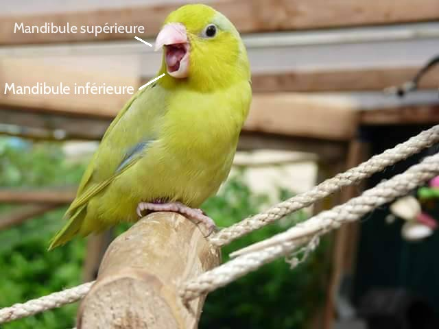 bec perruche toui celeste