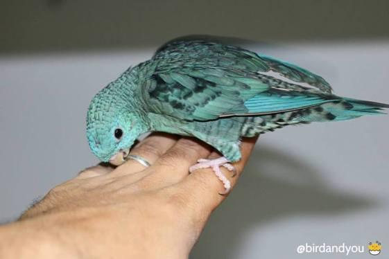 Mâle perruche catherine turquoise