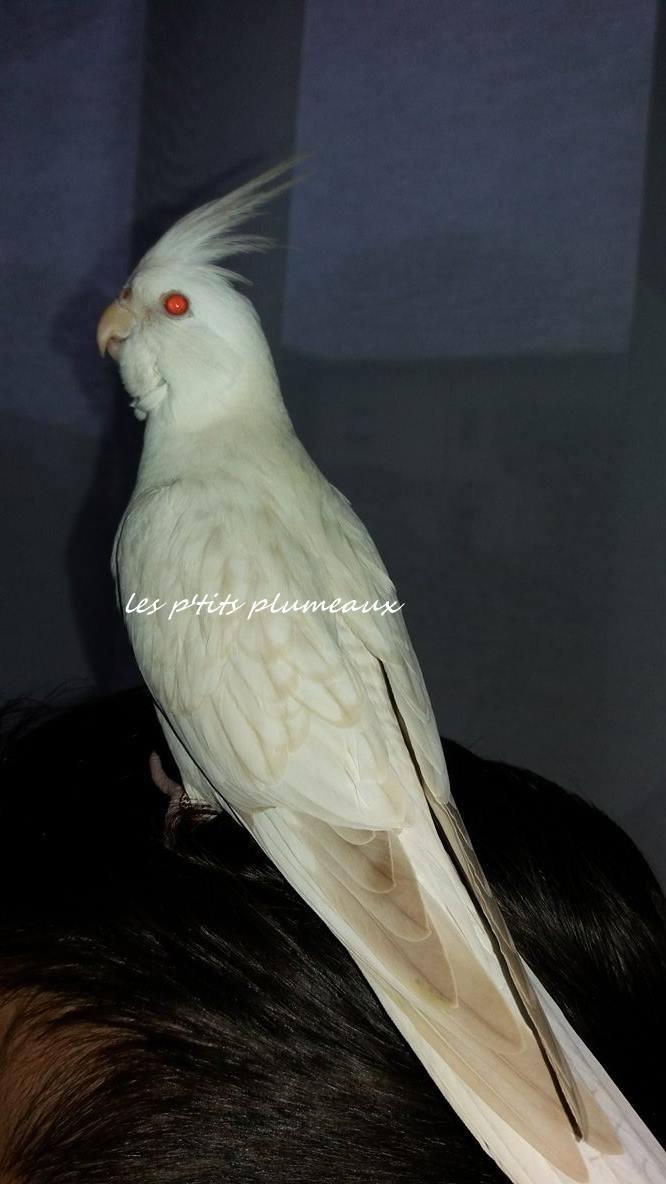 calopsitte femelle bronze fallow opaline face blanche birdandyou - Cockatiel mutations: summary and sexing