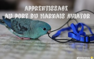 Port du harnais Aviator- Apprentissage