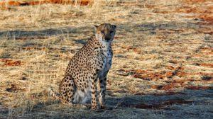 ein Gepard hält Ausschau nach seiner Beute