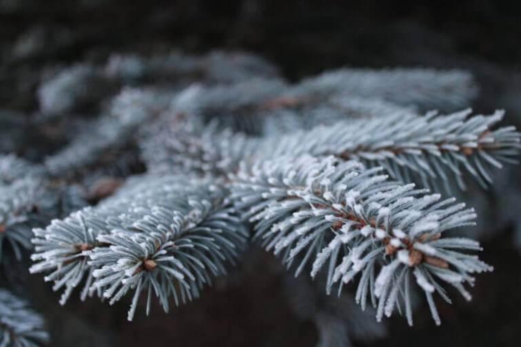 Zweige werden oft versilbert