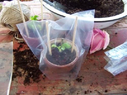 Пакеттің ішінде қолайлы микроклимат пайда болады, бұл өсімдікті тамырлауға ықпал етеді