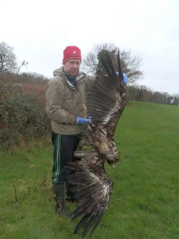 White-tailed eagle shot dead in Ireland, source RTE News