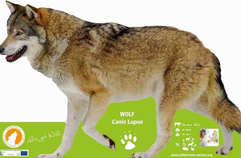 European WIlderness Society Lifesize Wolf Display