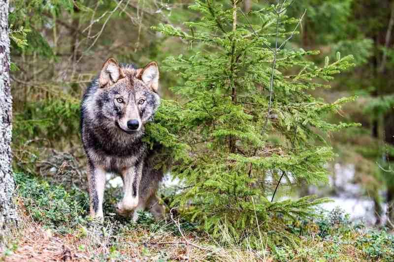 EWS - Wolves WWF -00167_.jpg-© Wild Wonders of Europe /Sergey Gorshkov / WWF