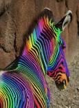 zebre colore
