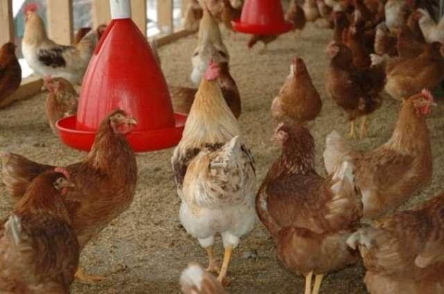 Из Краснодарского края и Ростовской области запретили экспортировать мясо птицы