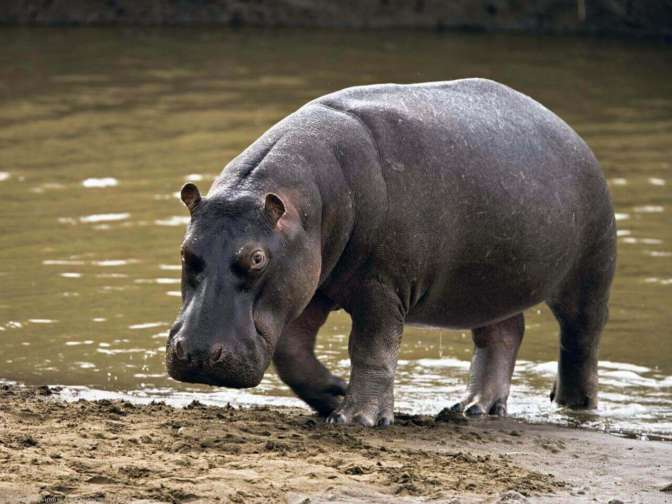 Взоопарке Сальвадора бегемота забили досмерти