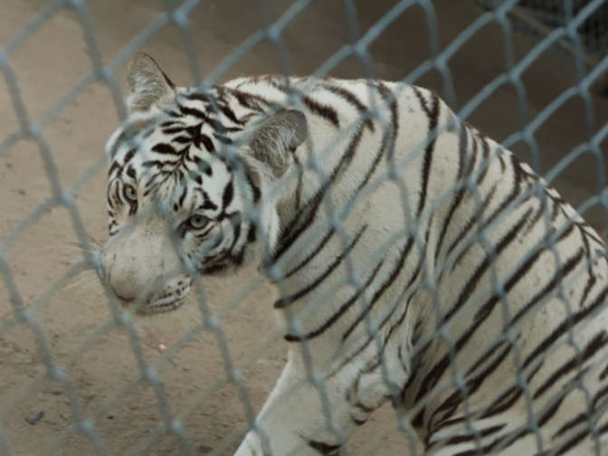 Цирковые белые тигры оказались брошенными натрассе вОренбургской области