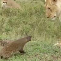 Отвали, приятель: злой мангуст преследует льва