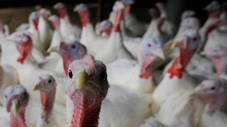 13000 индеек будут убиты на итальянской ферме после второй вспышки очень заразного птичьего гриппа H5N1