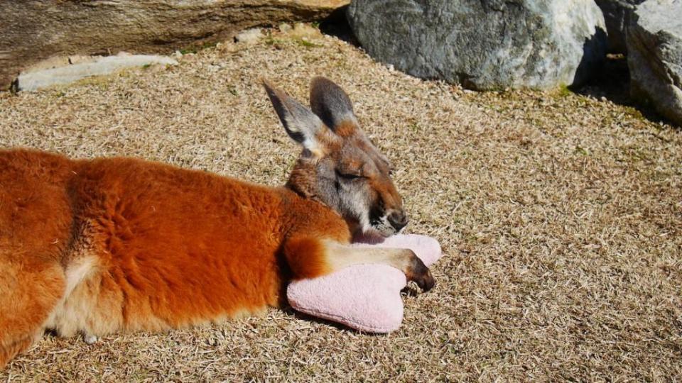 Un kangourou proche de son oreiller